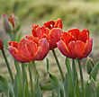 Flowerbed Colorful Tulip Flowers,Close Up stock image