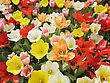 Colorful Tulip Flowers On A Field stock photo