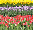 Colorful Tulips Field, Close Up stock photo
