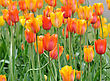 Colorful Tulips Field In The Spring Day stock image