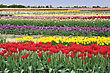 Colorful Tulips Field In The Spring Time stock photo