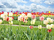 Colorful Tulips Flowers Against A Blue Sky