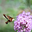 Common Clearwing Sphinx Moth Or Hummingbird Moth stock image