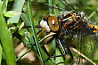 Common Darter Dragonfly Hanging On To Grass Blades stock photography