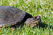 Common Snapping Turtles Walking In The Gress stock photography