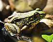 Common Water Frog Close Up stock photography