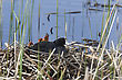 Coot Or Waterhen With Babies Chicks Young stock photo