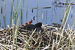 Coot Or Waterhen With Babies Chicks Young stock image