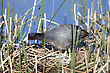 Coot Or Waterhen Sitting On Eggs In Saskatchewan Canada stock photo