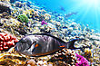 Hawaii Coral And Fish In The Red Sea.Fish-surgeon.Egypt stock photography