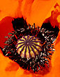 Core Of Beautiful Blooming Red Poppy Flower stock image