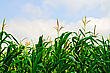Cornfield Corn In A Corn Field On A Background Of Blue Sky And White Clouds stock photo