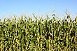 Corn Field Close Up Before The Summer Harvest stock photo