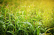 Corn Field In Sunlight. Close Up View stock photography