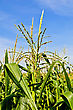 Corn Stalk On The Background Of Corn Fields And Blue Sky