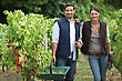 Couple Collecting Grapes From Vines stock photo