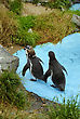Couple Of Magellanic Penguins, Spheniscus Magellanicus, Or South American Penguins In Water
