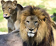 Couple Of Lions,Close Up stock image