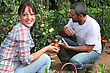 Couple Picking Tomatoes In Garden stock photo