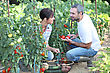 Couple Picking Vegetables stock photo