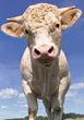 Cow Looking at Camera stock image
