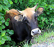 Farm Animals Cow Posing On Green Leaves Background stock image