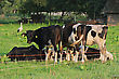 Farm Animals Cows Grazing In Green Meadow. One Cow Is Looking At The Camera. White Stork On The Background stock photo