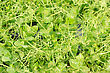 Cress Varieties Affilla On Artificial Substrate, Close-up stock image