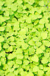 Cress Varieties Atsina On Artificial Substrate, Close-up stock photography