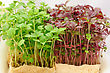 Cress Varieties Atsina On Artificial Substrate, Close-up stock photo
