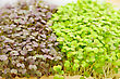 Cress Varieties Red Mustard On Artificial Substrate, Close-up stock photography