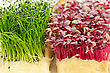 Cress Varieties Scarlet And Rock Chives On Artificial Substrate, Close-up stock image