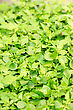 Cress Varieties Tahoon On Artificial Substrate, Close-up stock image