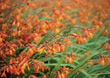 Crocosmia, Coppertips, Falling Stars stock photo