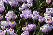crocus field stock photography