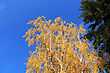 Crown Of Autumn Trees On Blue Sky Background stock photography