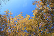 Crown Of Autumn Trees On Blue Sky Background stock image