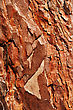 Crust Layer Of The Pine stock photo
