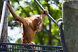 Cute Baby Orangutan Playing And Climbing Outside stock image
