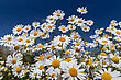 Daisies Closeup On Blue Sky Background stock image