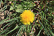 Dandelion Flower On A Bottom Of Green Plants stock photo