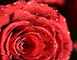 Water Drops Backgrounds Dark red rose with water droplets stock photography