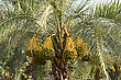 Dates On A Palm Tree In The Middle East