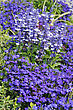 Decorative Blue Flowers Lobelia Erinus And Salvia Farinacea In The Garden stock photography