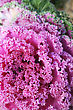 Growth Decorative Pink Cabbage Flower Vertical Picture. stock photography