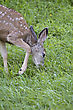 Whitetail Deer Fawn Grazing In Park In Saskatchewan Canada stock photo