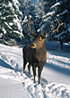 Deer in the Snow stock image