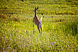 Deer Jumping In Field Crop In Saskatchewan Canada stock photography