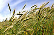 Detail Of Triticale Crop Grown For Silage, West Coast, New Zealand stock photography
