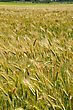 Detail Of Triticale Crop Grown For Silage, West Coast, New Zealand